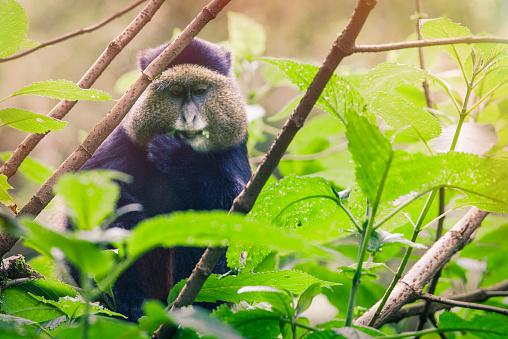 竹「黄金の猿、ルワンダ」:スマホ壁紙(3)