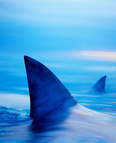 Animal Body Part「Shark Fins Cutting Surface of Water」:スマホ壁紙(8)