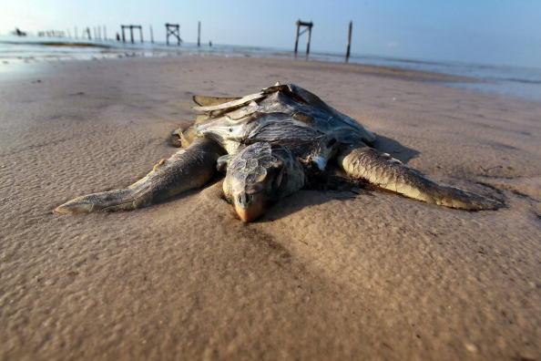 Oil Spill「Massive Oil Slick Reaches Louisiana Gulf Coast」:写真・画像(13)[壁紙.com]