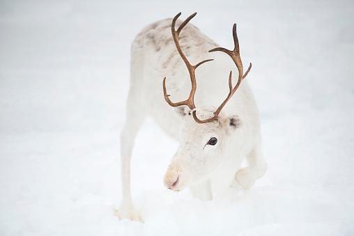 Finnish Lapland「White Reindeer in the snow, Inari, Lapland, Finland」:スマホ壁紙(18)