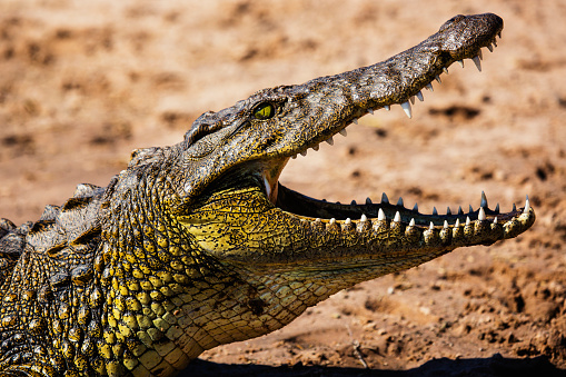 Crocodile「A sideview portrait of the head of a Nile crocodile」:スマホ壁紙(13)
