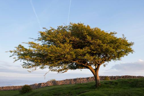 Hawthorn「English Lake District: Hawthorn at sunset」:スマホ壁紙(17)