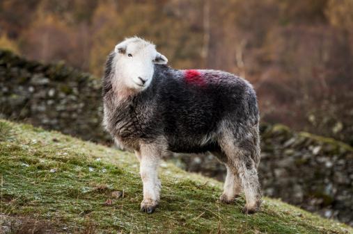Ewe「English Lake District: Herdwick sheep」:スマホ壁紙(12)
