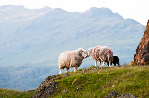Ewe「English Lake District: Herdwick sheep」:スマホ壁紙(16)