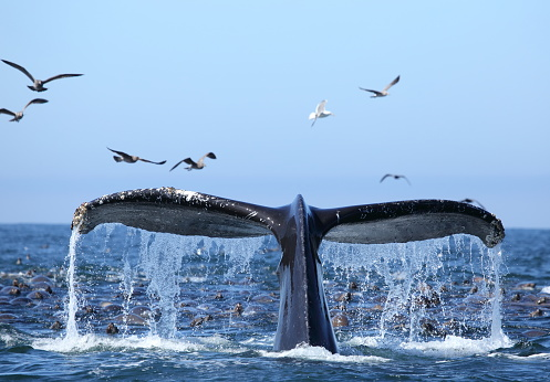 Whale「Whale watching on the Monterey Bay California USA」:スマホ壁紙(1)