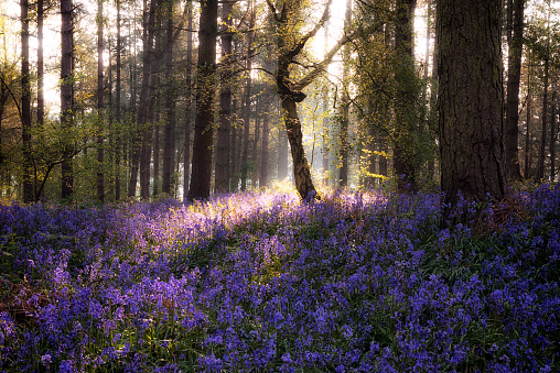 花畑「UK, England, West Midlands, Warwickshire, Stratford-upon-Avon, Sunrise In Bluebell Woods」:スマホ壁紙(12)