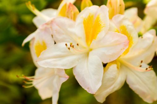 Azalea「Azalea flowers」:スマホ壁紙(16)
