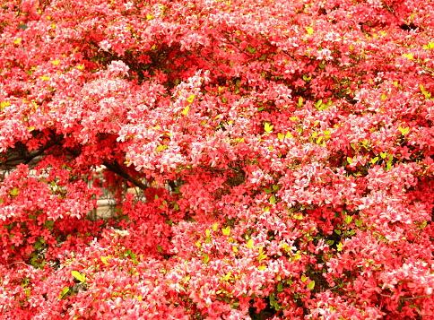 Japan「Azalea flowers,close up」:スマホ壁紙(18)