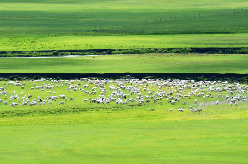 Flock Of Sheep「Sheep on wide grassy plains of Mongolia」:スマホ壁紙(7)