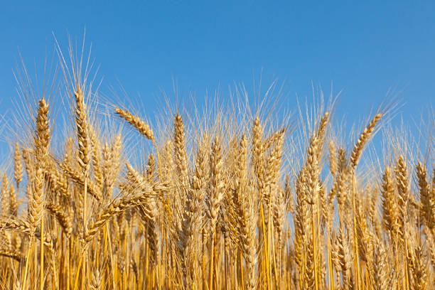 Golden Wheat Field:スマホ壁紙(壁紙.com)