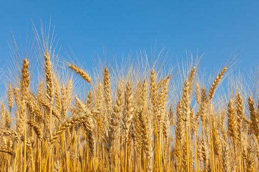 Farm「Golden Wheat Field」:スマホ壁紙(3)
