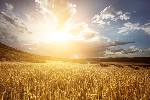 Harvesting「Golden wheat field under beautiful sunset sky」:スマホ壁紙(1)