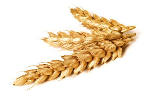 Barley「Golden wheat on white background - close-up」:スマホ壁紙(10)