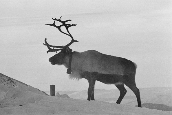 Domestic Animals「Reindeer Farm」:写真・画像(18)[壁紙.com]