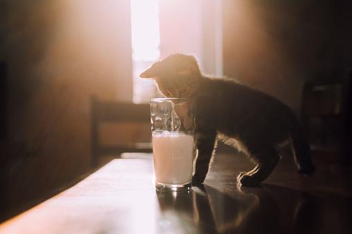 子猫「Eight week old tortoiseshell kitten trying to drink milk from a glass in the morning sunlight」:スマホ壁紙(8)