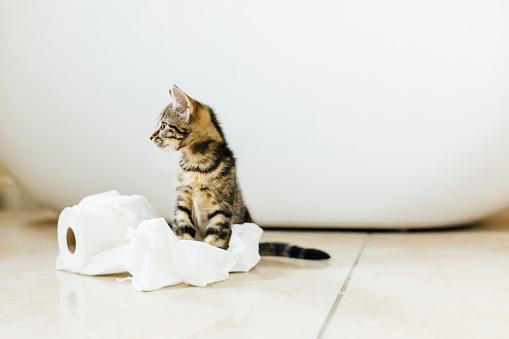 Kitten「Eight week old tortoiseshell kitten playing with toilet roll」:スマホ壁紙(14)