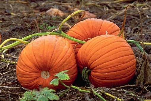 1990-1999「Three Pumpkins in Patch」:スマホ壁紙(18)