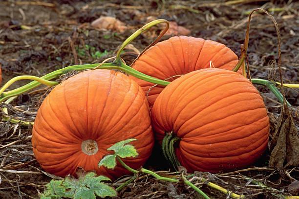 Three Pumpkins in Patch:スマホ壁紙(壁紙.com)