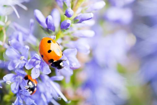 Ladybug「Lady bugs on blue veronica」:スマホ壁紙(1)