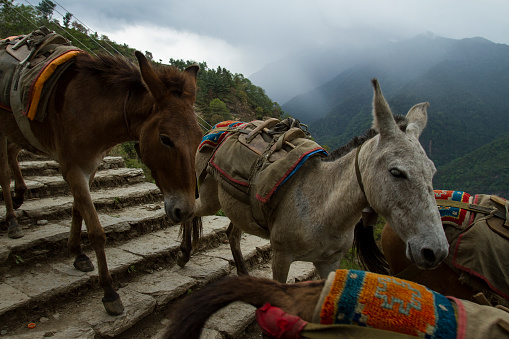 Himalayas「Mules in the Annapurna Mountains」:スマホ壁紙(15)