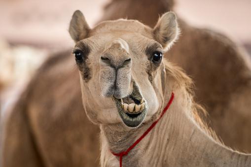 Making A Face「Silly camel face」:スマホ壁紙(18)