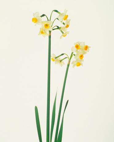 水仙「Daffodils, white background」:スマホ壁紙(10)
