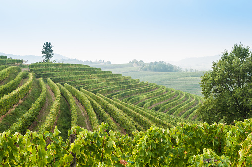 生い茂る「Nice vineyard landscape at north of Italy」:スマホ壁紙(7)