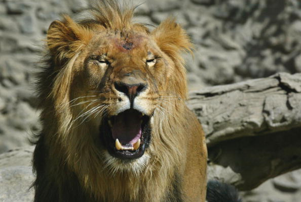 Animal Whisker「China Donates Lions To Afghan Zoo」:写真・画像(9)[壁紙.com]