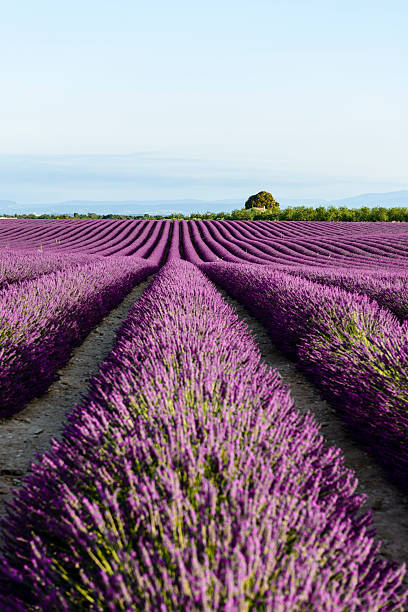 Lavender - Provence, France:スマホ壁紙(壁紙.com)