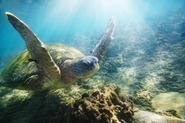 The green sea turtle:スマホ壁紙(壁紙.com)