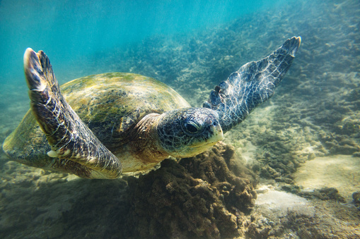 Sri Lanka「The green sea turtle」:スマホ壁紙(12)