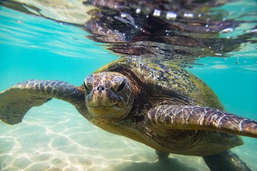 Green Turtle「The green sea turtle」:スマホ壁紙(19)