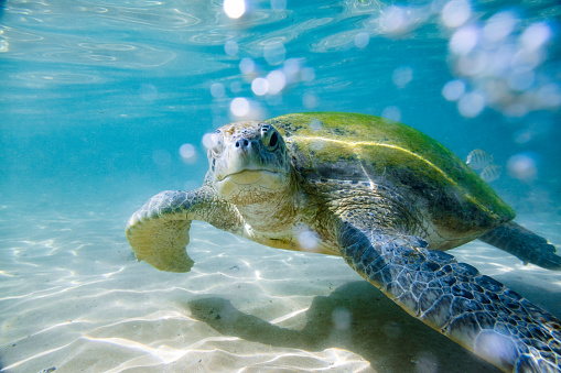 Animal Wildlife「The green sea turtle」:スマホ壁紙(5)