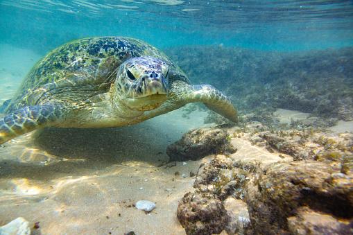 Green Turtle「The green sea turtle in wild environment」:スマホ壁紙(17)