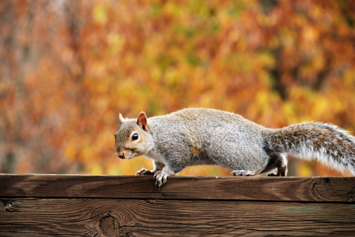 Gray Squirrel「Squirrel on banister against fall foliage」:スマホ壁紙(11)
