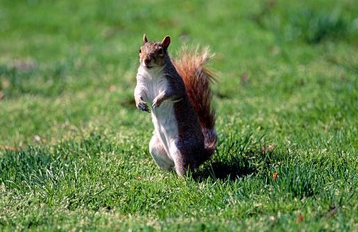 Gray Squirrel「Squirrel on grass」:スマホ壁紙(12)