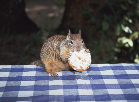 Squirrel「Squirrel on picnic table eating cookie」:スマホ壁紙(3)