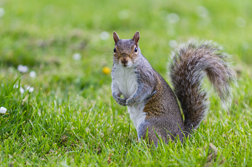 Gray Squirrel「Squirrel on the lookout for food early morning」:スマホ壁紙(0)
