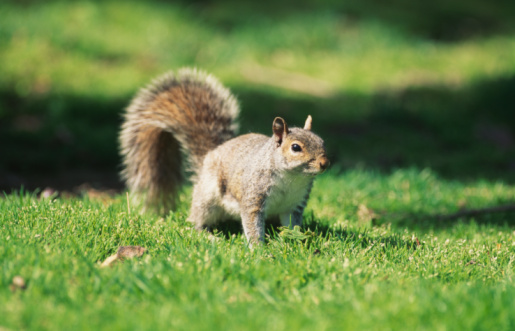 Gray Squirrel「Squirrel on grass, close-up」:スマホ壁紙(15)