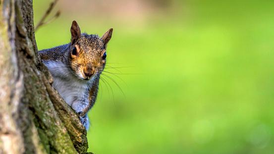 Gray Squirrel「Squirrel on a tree」:スマホ壁紙(11)