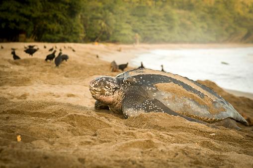Green Turtle「Turtle Leaving the Sea」:スマホ壁紙(17)