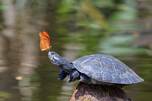 Amazon Region「Ecuador, Amazonas River Region, Julia butterfly on nose of Yellow-spotted river turtle」:スマホ壁紙(11)