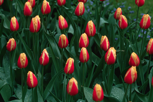Keukenhof Gardens「Tulips at Keukenhof Gardens」:スマホ壁紙(14)
