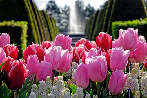 キューケンホフ公園「tulips at Keukenhof Gardens, Holland」:スマホ壁紙(18)