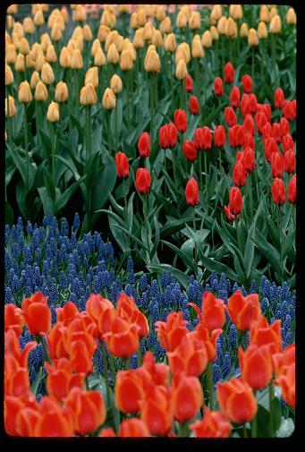 Keukenhof Gardens「Tulips at Keukenhof Gardens」:スマホ壁紙(15)