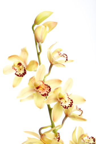 Stamen「Yellow orchid against white background, close-up」:スマホ壁紙(10)
