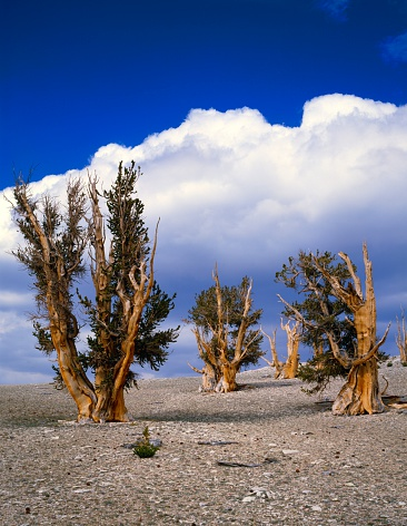インヨー国有林「Grove of bristlecone pine trees, world's longest-lived species, Inyo National Forest」:スマホ壁紙(7)