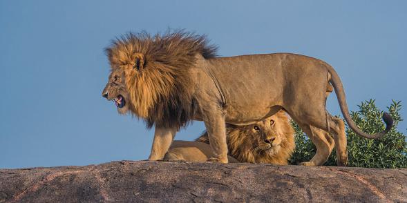 Males「Lion」:スマホ壁紙(15)