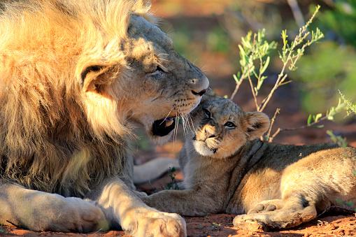 Kalahari Desert「Lion」:スマホ壁紙(13)