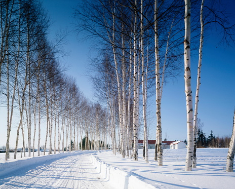 雪「Row of white birch trees in snowy land, Hokkaido prefecture, Japan」:スマホ壁紙(11)
